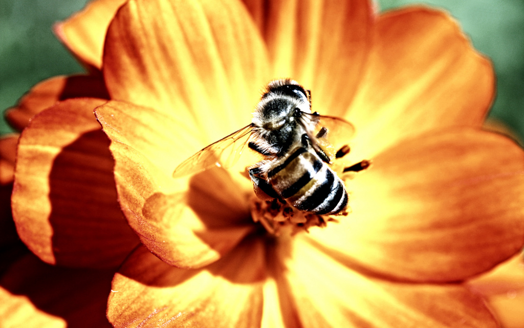 Bee HD Wallpaper