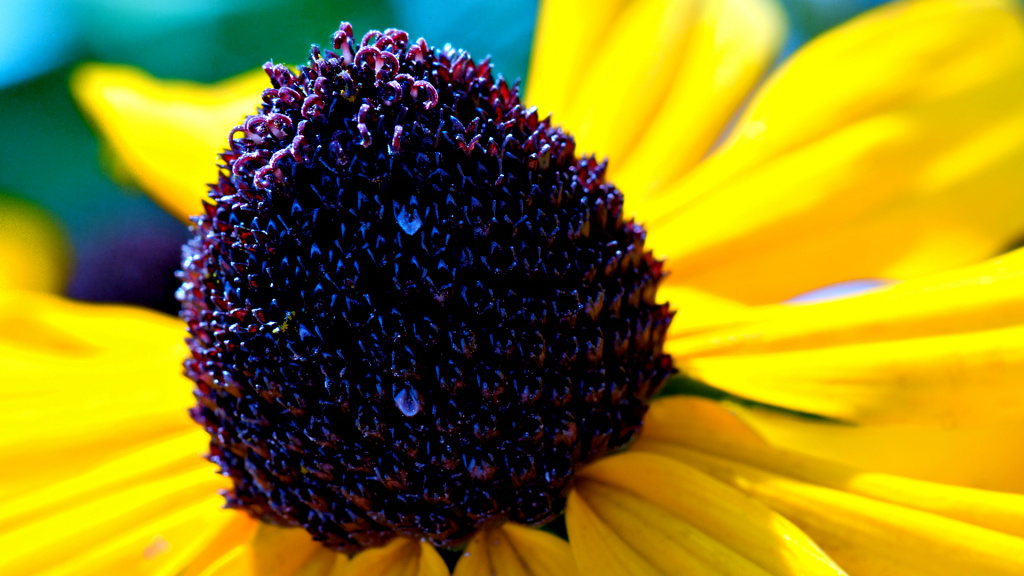 Black-eyed Susan Flower HD Wallpaper