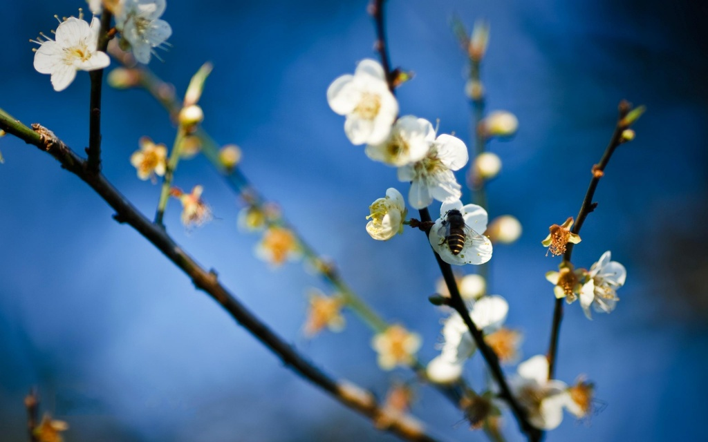 Blossom Tree HD Wallpaper