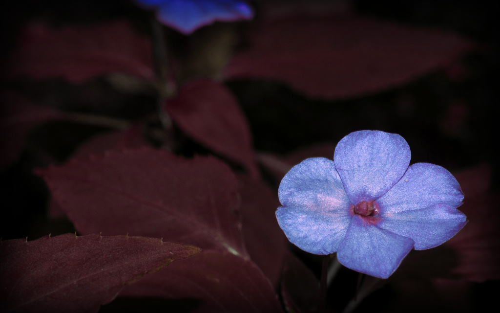Blue Flower, Nuuanu-Punchbowl, Honolulu, Hi, Us HD Wallpaper