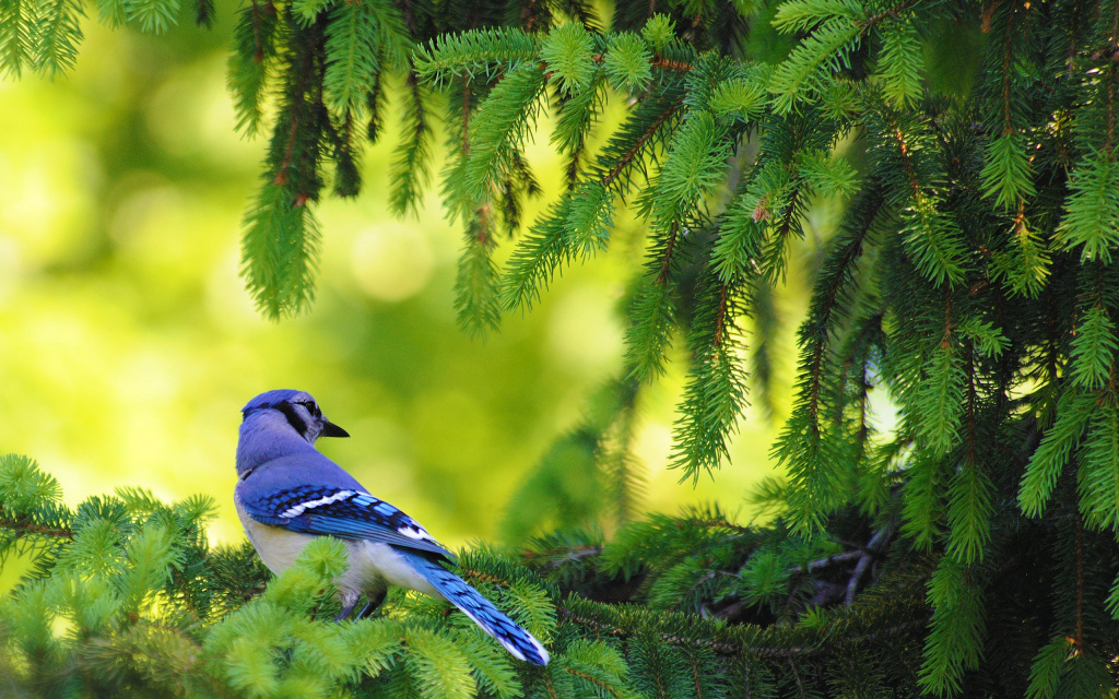 Blue Jay, Cornwall Landing, Cornwall On Hudson, NY, US HD Wallpaper