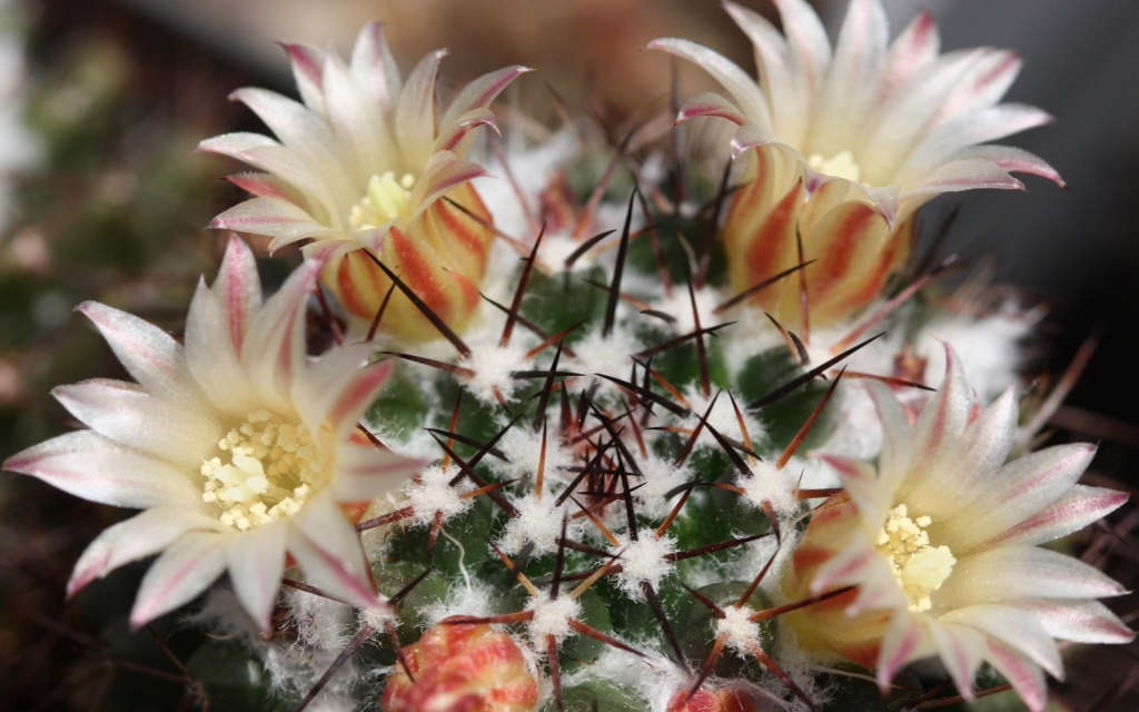 Cactus Flowers HD Wallpaper