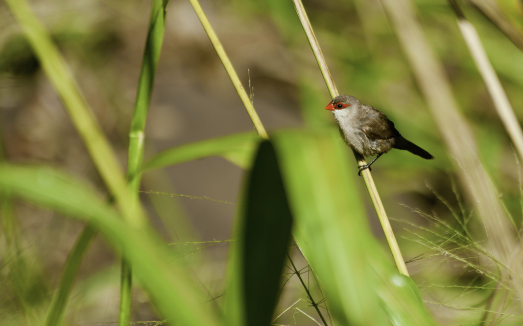 Common Waxbill HD Wallpaper