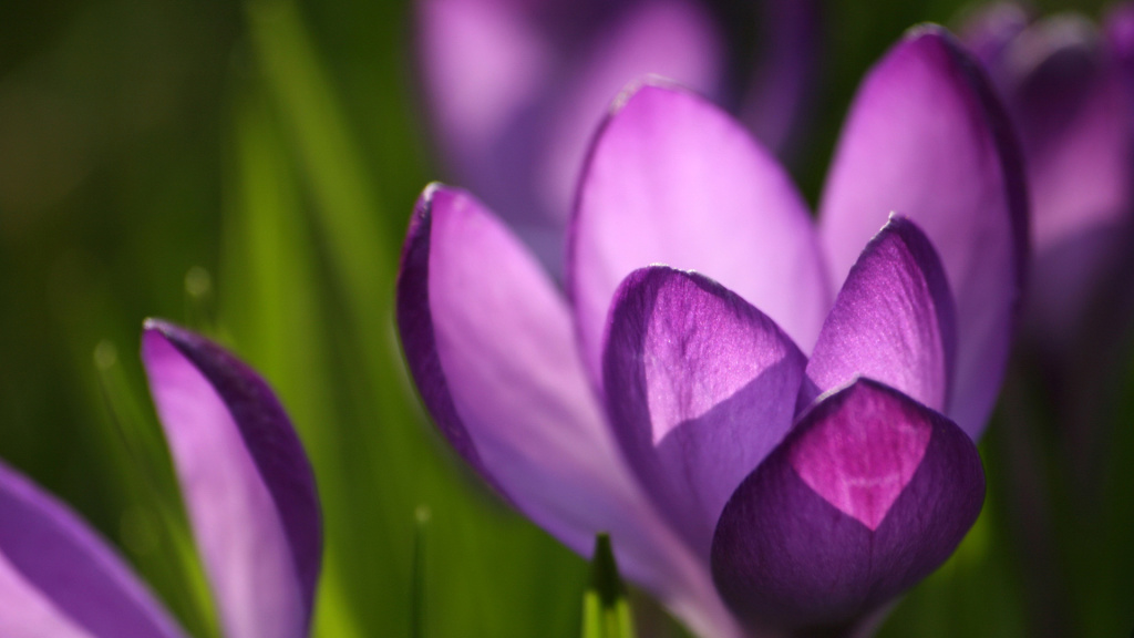Crocus Flower Macro HD Wallpaper