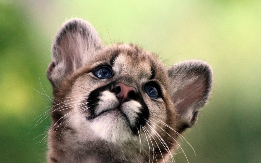 Cute Cougar Cub HD Wallpaper