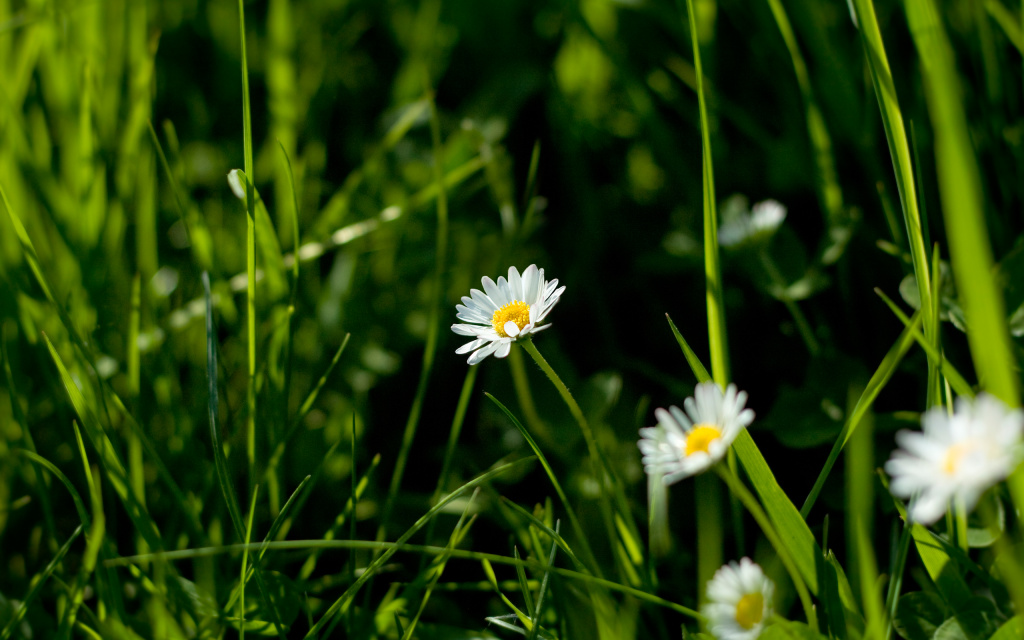 Daisies HD Wallpaper