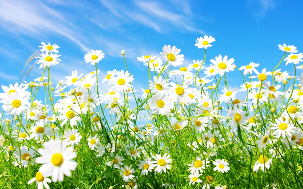 Daisies Flowers HD Wallpaper