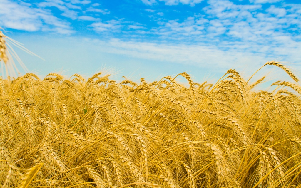 Dry Wheat HD Wallpaper