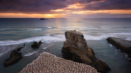 Gannet Colony, Muriwai, New Zealand