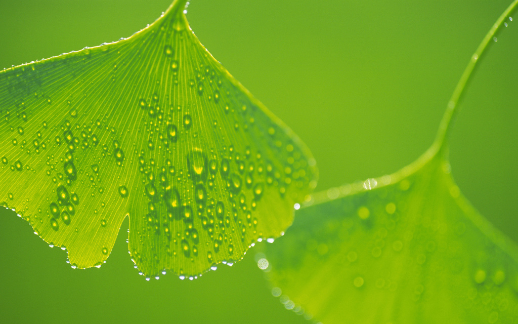 Ginkgo Leaves Macro HD Wallpaper