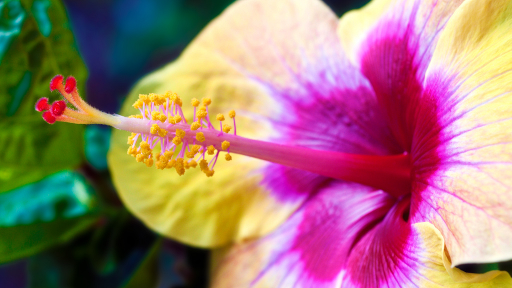 Hibiscus Macro HD Wallpaper