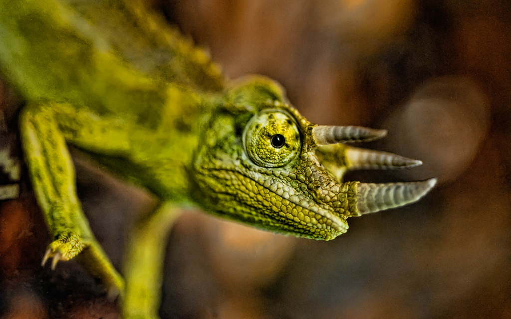 Jacksons Chameleon HD Wallpaper
