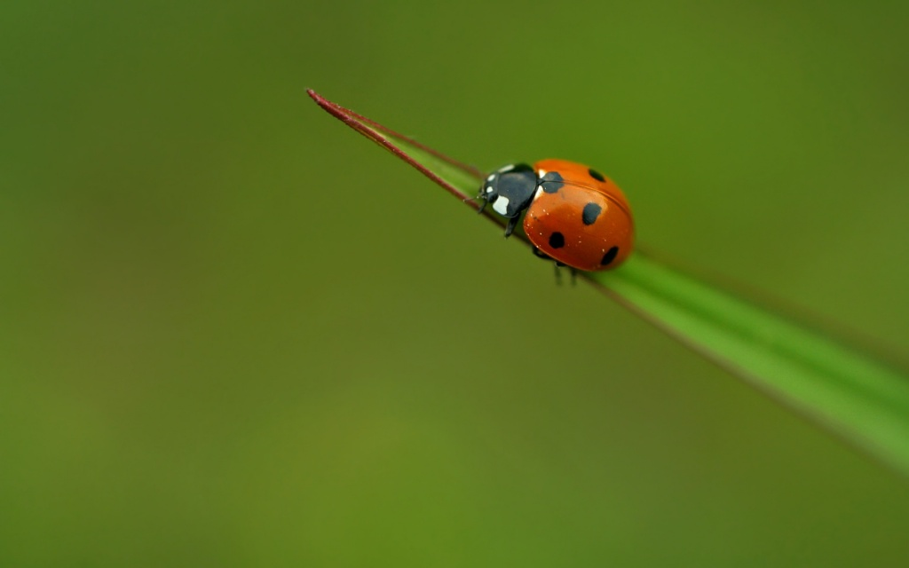 Ladybird HD Wallpaper