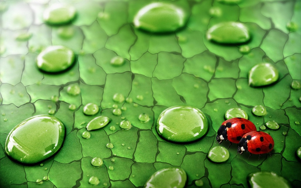 Ladybirds HD Wallpaper