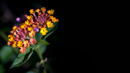 Lantana Flowers, Honolulu, Hawaii, US
