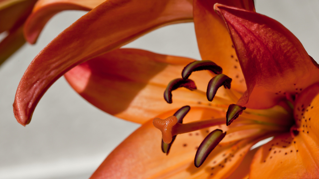 Lily Macro HD Wallpaper