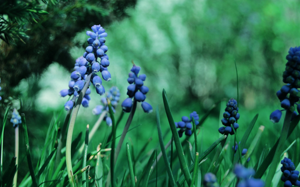 Muscari Flowers HD Wallpaper