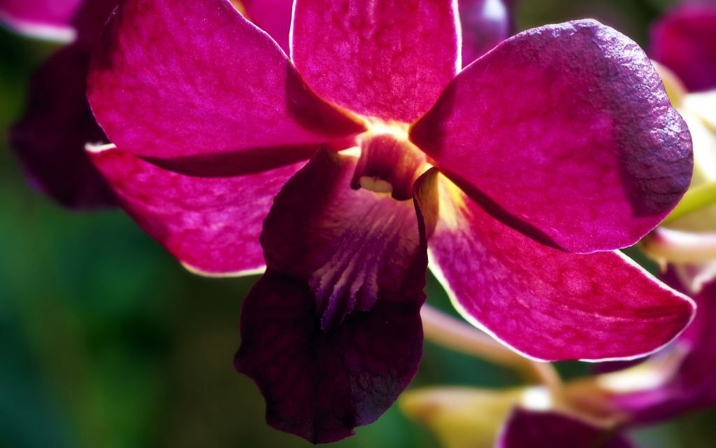 Pink Orchid HD Wallpaper