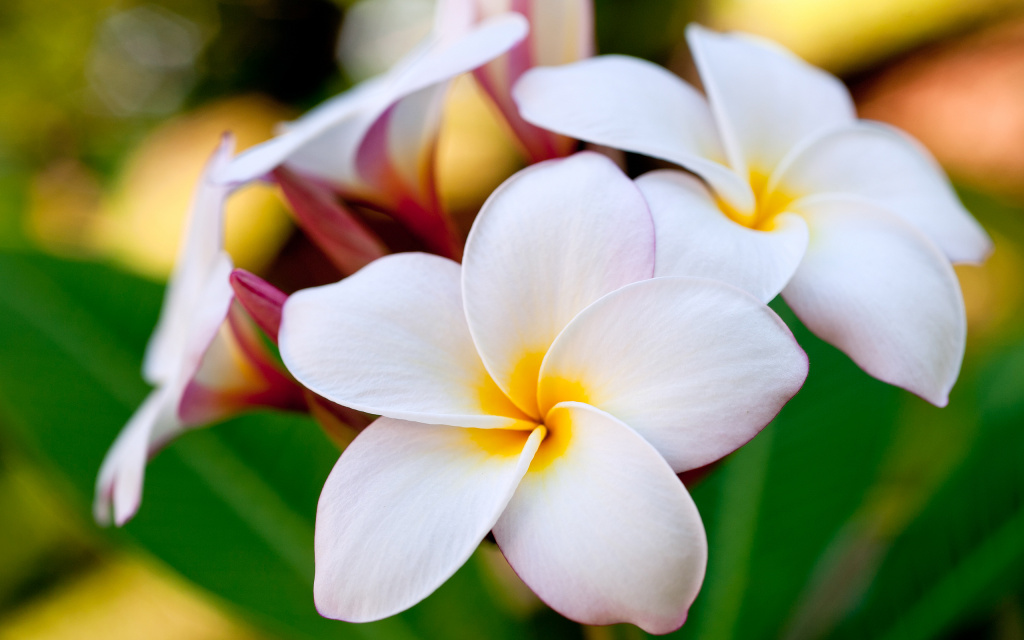 Plumeria HD Wallpaper