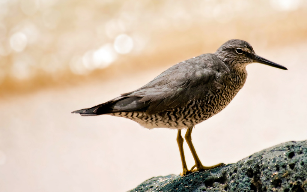 Wandering Tattler - Hawaiian Name Ulili HD Wallpaper