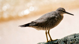 Wandering Tattler - Hawaiian Name Ulili