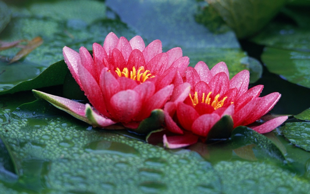 Water Lilies HD Wallpaper