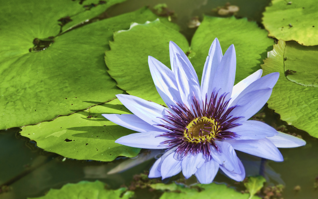Water Lily Blossom HD Wallpaper