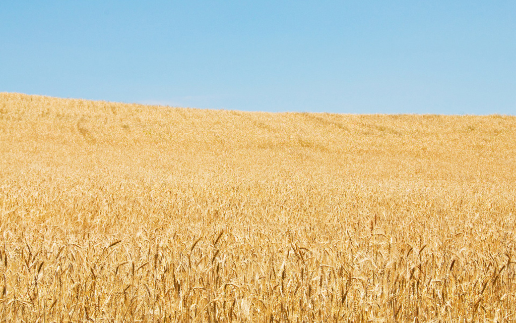 Wheat Field HD Wallpaper