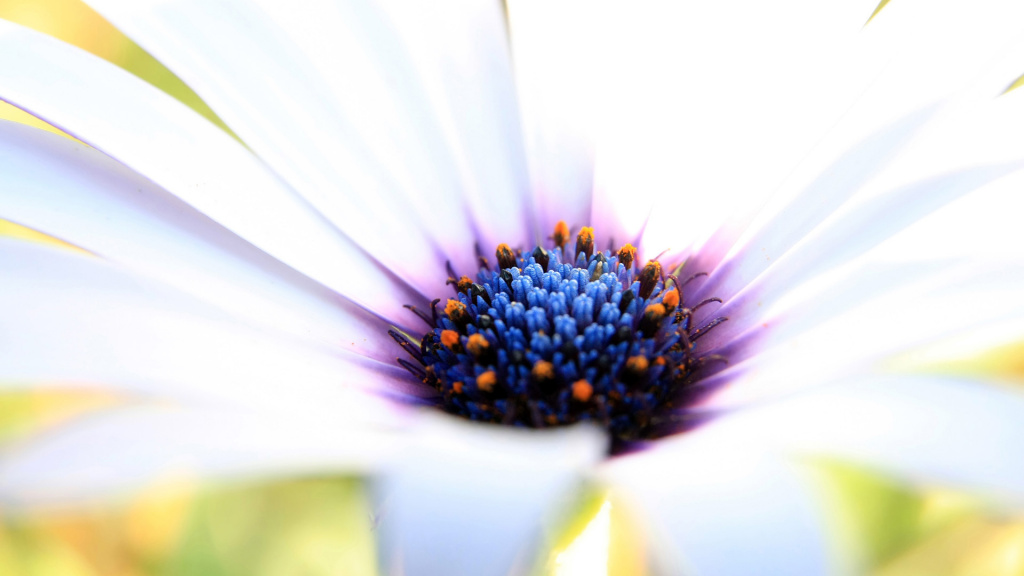 White Daisy Macro HD Wallpaper