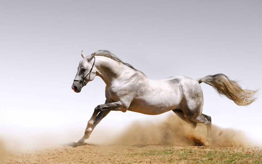 White Horse HD Wallpaper