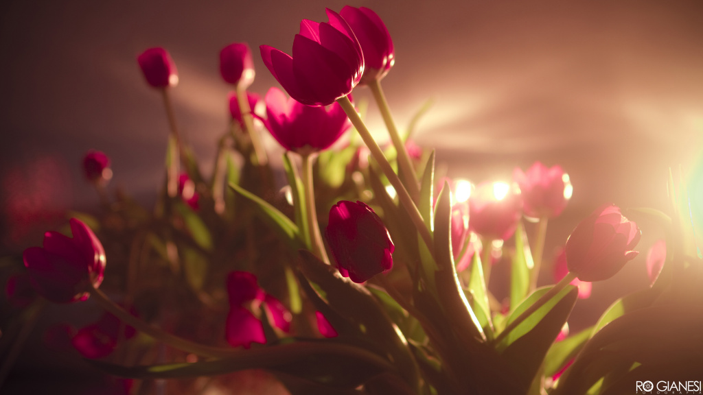Beautiful Tulips HD Wallpaper