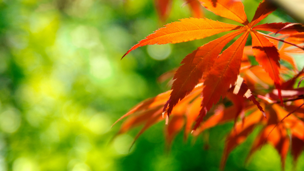 Orange Japanese Maple Leaves HD Wallpaper