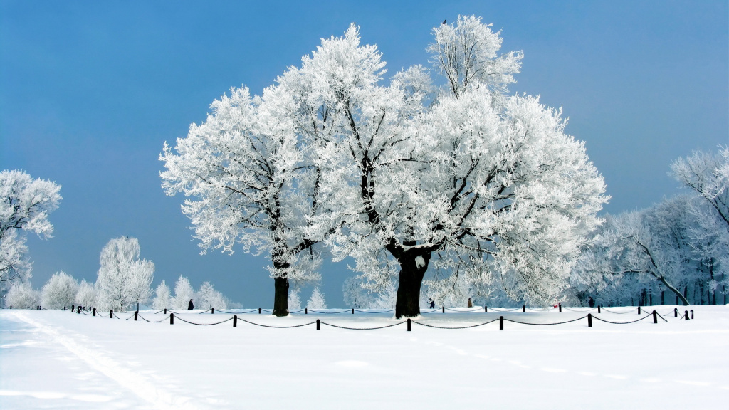 White Trees Winter HD Wallpaper